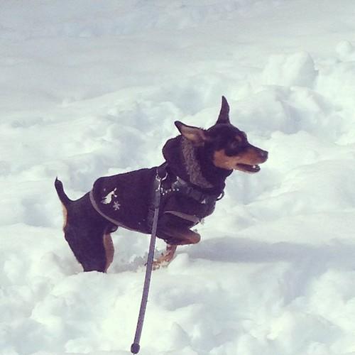 雪の中を走り回る黒犬。