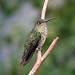 Many-spotted Hummingbird - Photo (c) Dick Culbert, some rights reserved (CC BY)