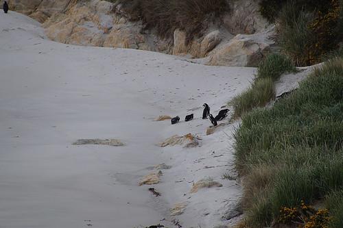 138 Magelhaenpinguins bij Gypsy Cove
