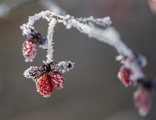 Frosted Berry