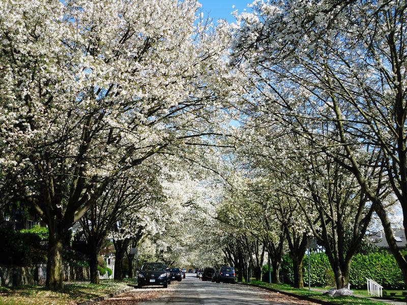忽如一夜春雪来-温哥华民居白花街们