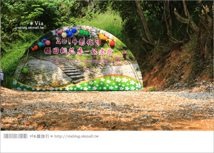 【彰化油桐花】福田桐花生態園區~雪白花毯!每年都會想再回訪的賞桐景點15