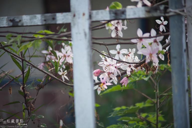 台南私藏景點--台1線花旗木 (10)
