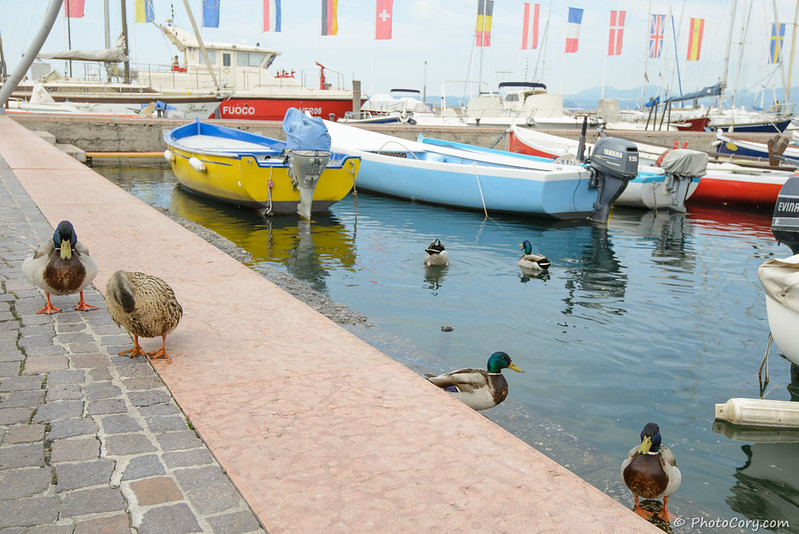 Ducks on Lake Garda in Bardolino, Italy