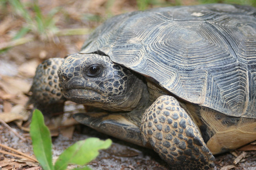The gopher tortoise is the keystone species of the Southeast's longleaf pine forests. More than 300 species depend on gopher tortoise burrows.