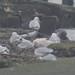 klemens gasser ebird checklist photos has added a photo to the pool:continuing Glaucous Gull 20150130 Bush Terminal Pier Park Brooklynebird.org/ebird/view/checklist?subID=S21600288www.klemensgasser.com