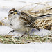 Small photo of American Tree Sparrow