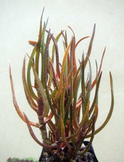Aloe bakeri 16352498316_faaaa4aef2_o