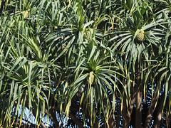 arecales(0.0), botanical garden(0.0), borassus flabellifer(0.0), flower(0.0), grass(0.0), saw palmetto(0.0), elaeis(0.0), jungle(0.0), tropics(1.0), leaf(1.0), tree(1.0), plant(1.0), flora(1.0), green(1.0), vegetation(1.0),