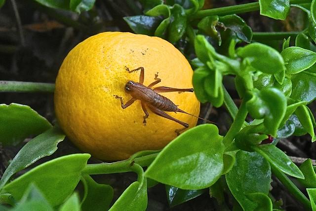 Cricket resting on a falllen orange 3 May 2016