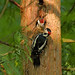 Woodpecker Family by picture!dude