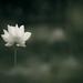 Lotus  . White Lotus .  荷 . 961