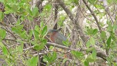 Green Heron (Butorides virescens) in Las Salinas