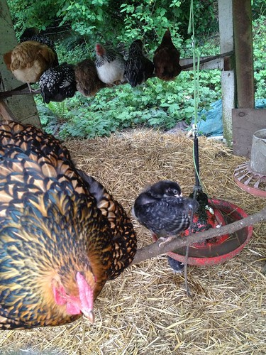 One mama hen taught her babies how to sleep on the roost today