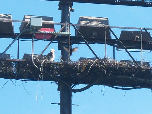 05/27/2013 Hawlet and starling