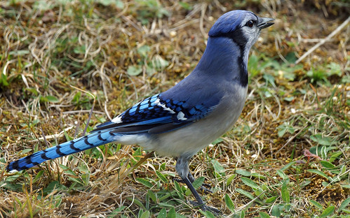 DSC05872 JAYBIRD