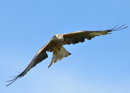 Red Kite Gigrin Farm by Andy Pritchard - Barrowford
