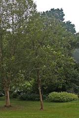 Betulaceae