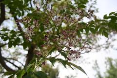 Meliaceae