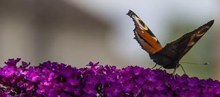 The Butterfly Bush