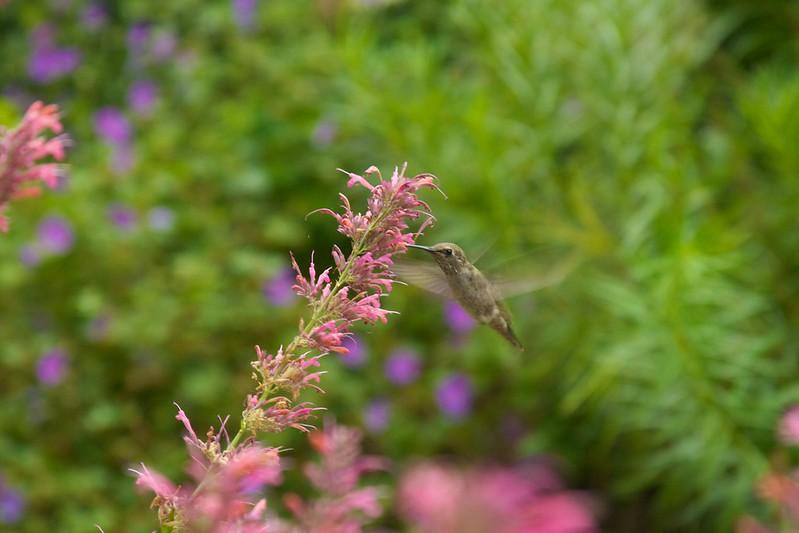 hummingbird  3478