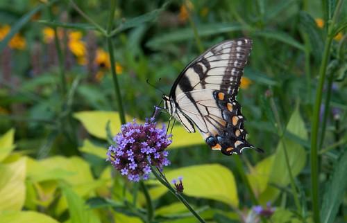 Tiger swallowtail LG 8-14-13 9903 lo-res