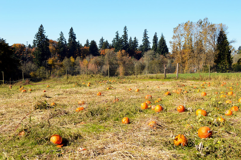 Patch Of Pumpkins
