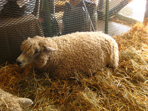 This sheep's name is Merlin.