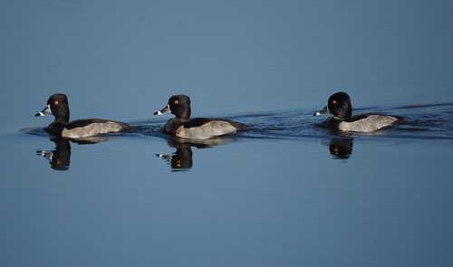 Ring-necked Ducks by Mike's Birds