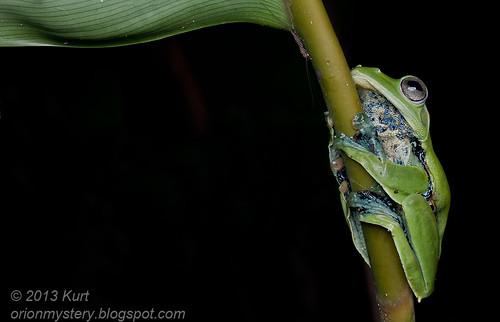 Norhayati's Flying Frog - Rhacophorus norhayatii IMG_2591 copy