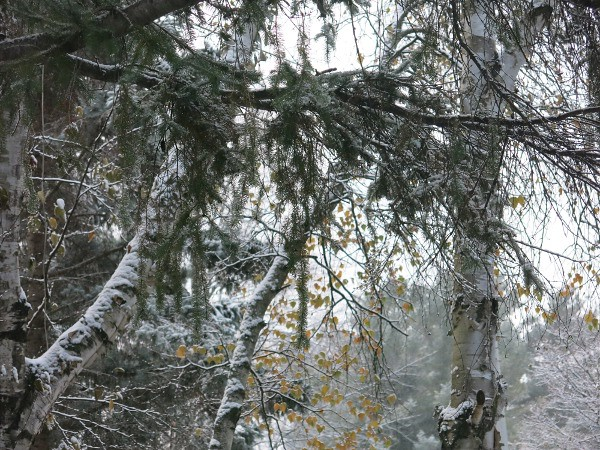 Birch, Spruce and First Snow
