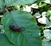 1-cicada