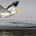 Pelican in flight_42785.jpg