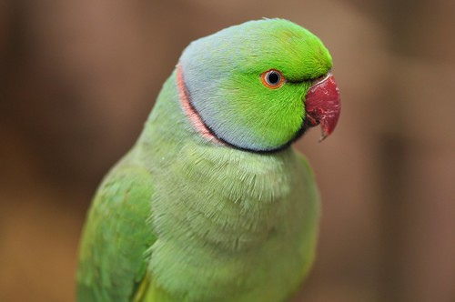 rose-ringed parakeet- green
