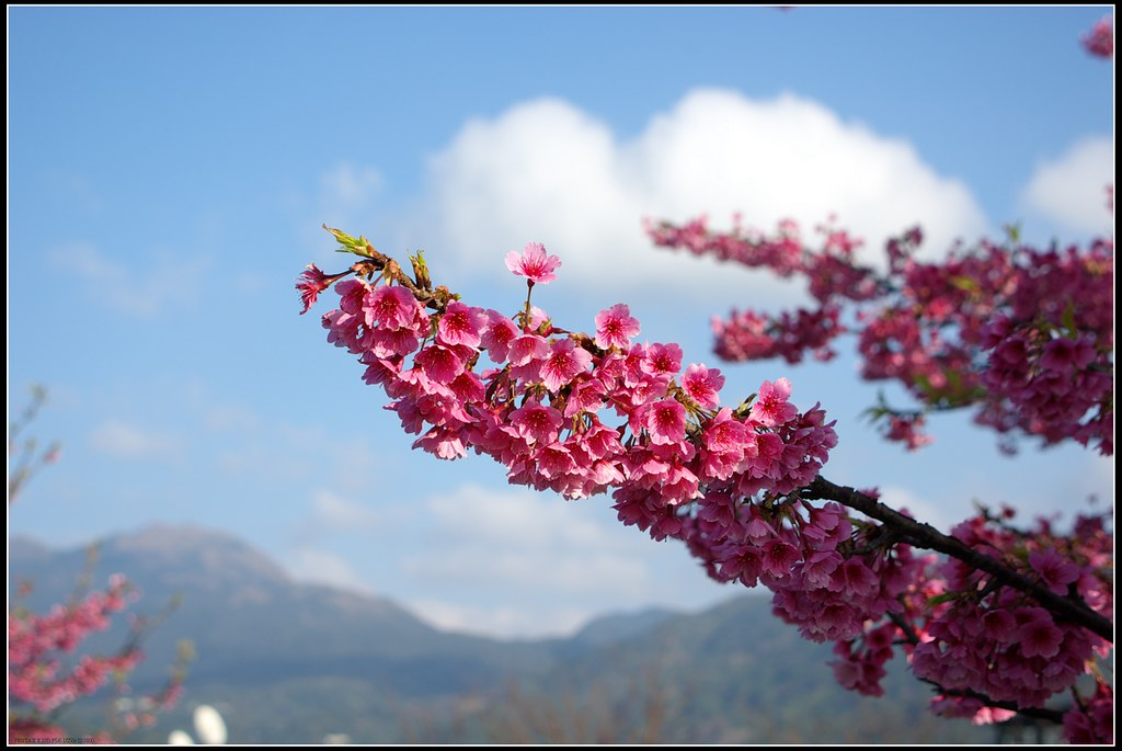 平菁街櫻花