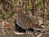กระทาป่าไผ่ Mountain Bamboo-Partridge (male) - Bambusicola fytchii