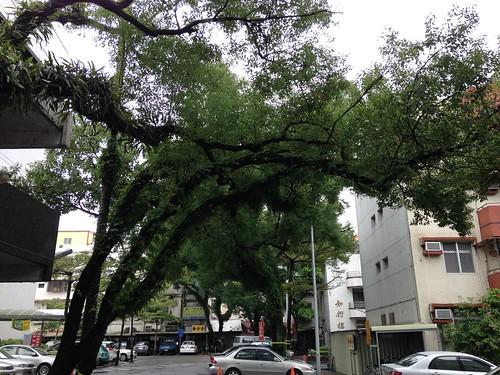 宜蘭醫院老樟樹。