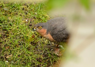 Sparrowhawk with KIll