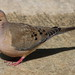 Mourning Dove - Photo (c) Jon. D. Anderson, some rights reserved (CC BY-NC-ND)