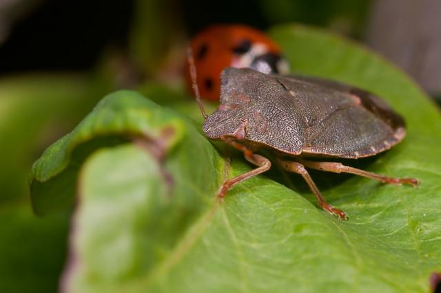 115: Green Shieldbug