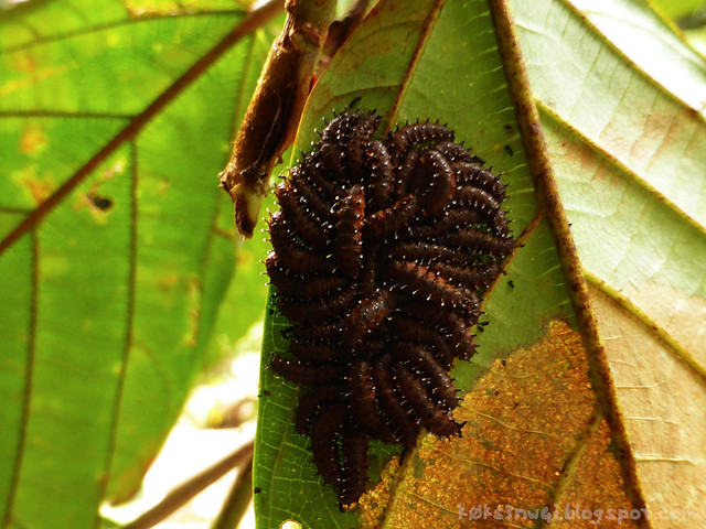 Waterfall Caterpillar Cluster