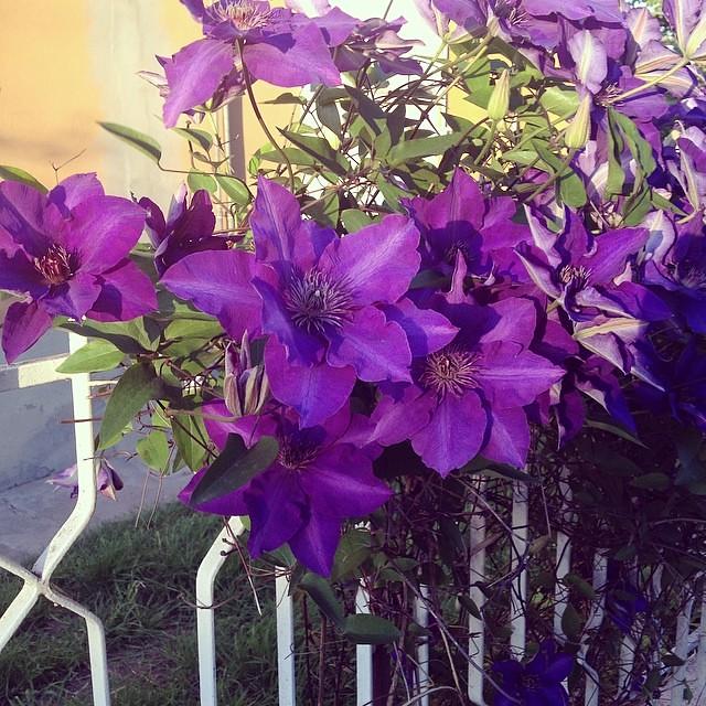 Viola #spring #primavera #stagioni #flower #forli