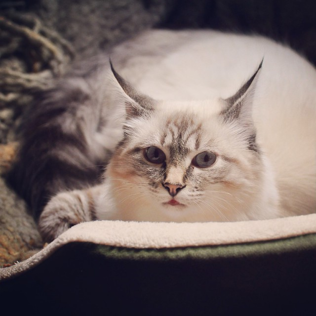 Cats Ear Tufts Grow With Age