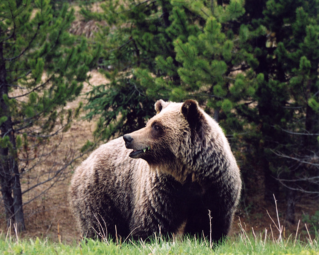 Grizzly Bear Near Wells, BC