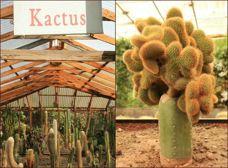 Cactus, Pisac