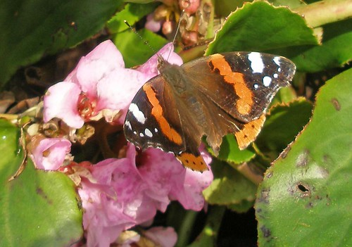Red Admiral on bergenia