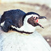 hey #  - Pinguin_offener_Schnabel - Leica R4 Fuji G100 - 1996