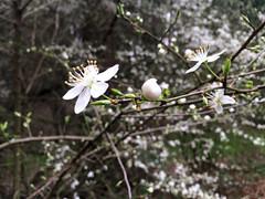 blossom, flower, branch, tree, nature, wildflower, flora, prunus spinosa, cherry blossom, spring,