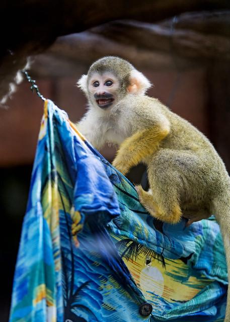 Squirrel monkey on the shirt II
