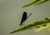Flying Insect - Dragon Fly